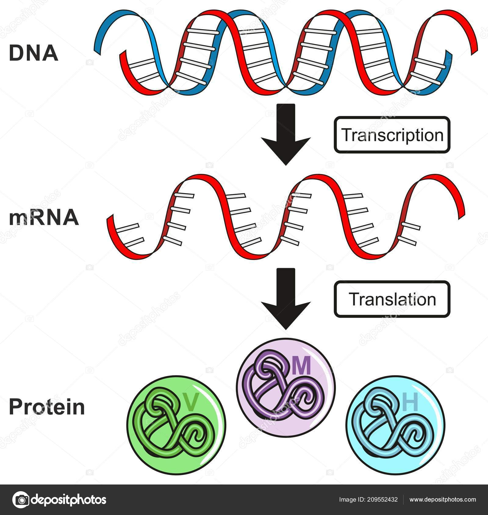 hight resolution of central dogma of gene expression infographic diagram showing the process of transcription and translation from dna to rna to protein and how it form for