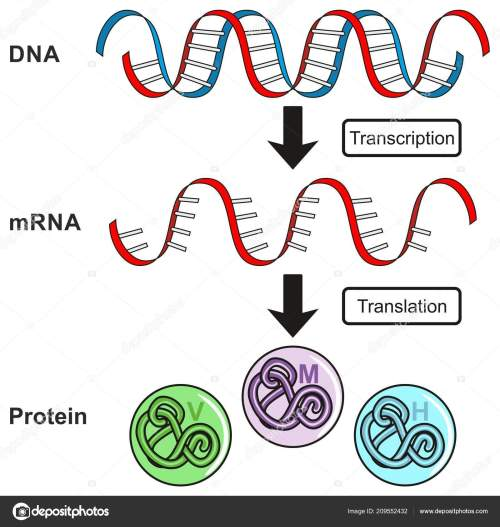 small resolution of central dogma of gene expression infographic diagram showing the process of transcription and translation from dna to rna to protein and how it form for
