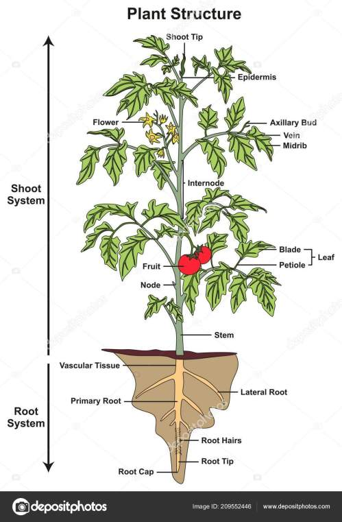 small resolution of plant structure infographic diagram including all parts shoot rootplant structure infographic diagram including all parts of
