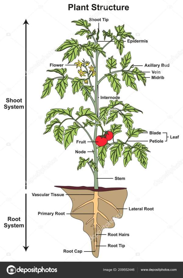 Plant Structure Infographic Diagram Including Parts