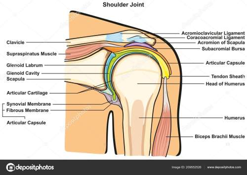 small resolution of shoulder joint of human body anatomy infographic diagram with all parts including bones ligaments muscles bursa cavity capsule cartilage membrane for