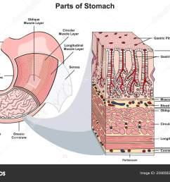 parts stomach infographic diagram including structure cross section diagram parts esophagus [ 1600 x 1028 Pixel ]