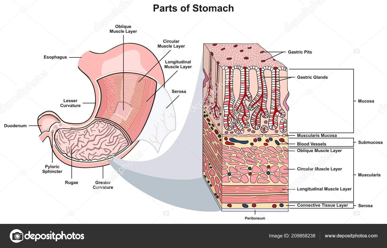 hight resolution of parts stomach infographic diagram including structure cross section diagram parts esophagus