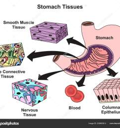 stomach tissues types structure infographic diagram including smooth muscle loose stock vector [ 1600 x 1401 Pixel ]