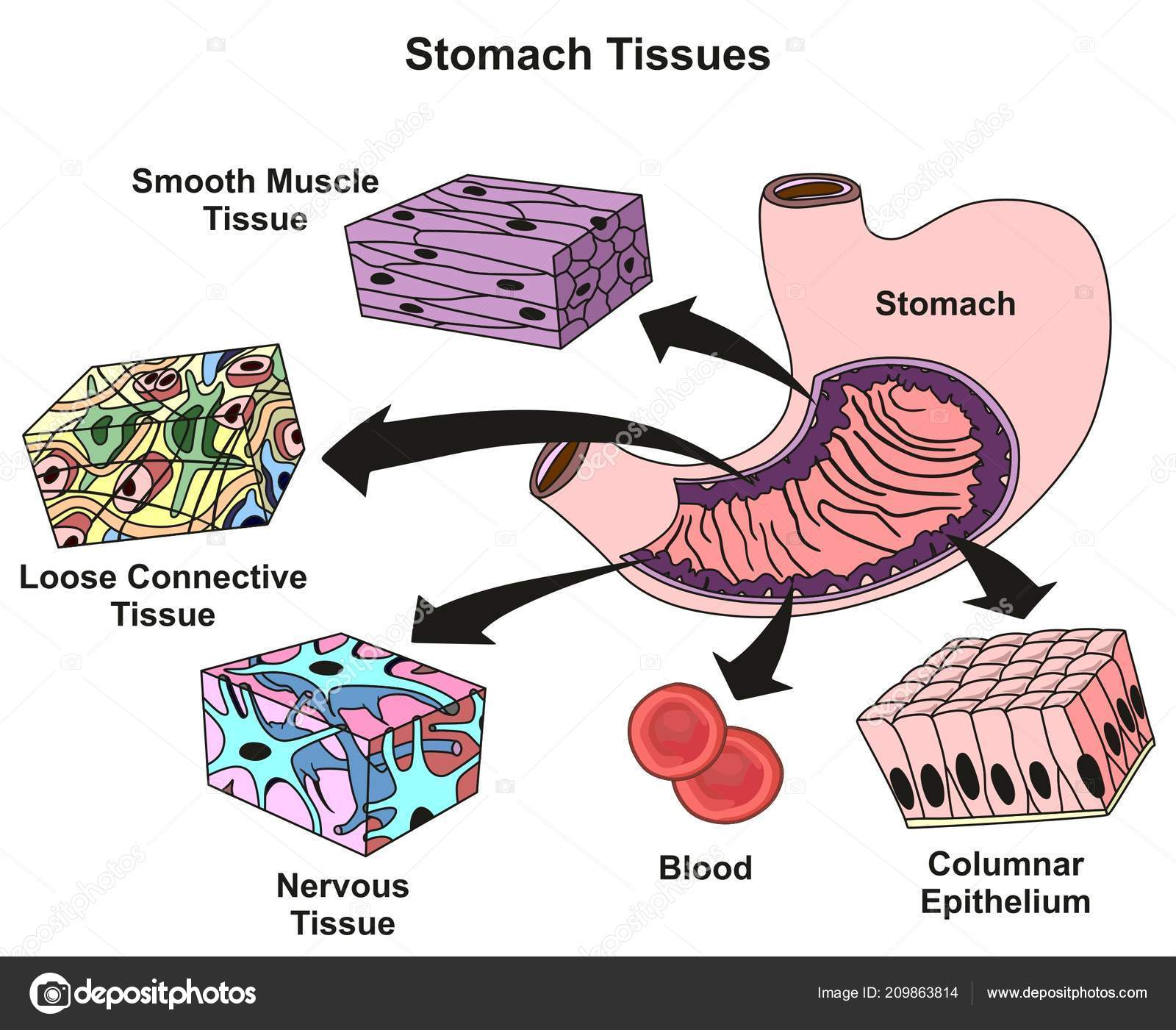hight resolution of stomach tissues types structure infographic diagram including smooth muscle loose stock vector
