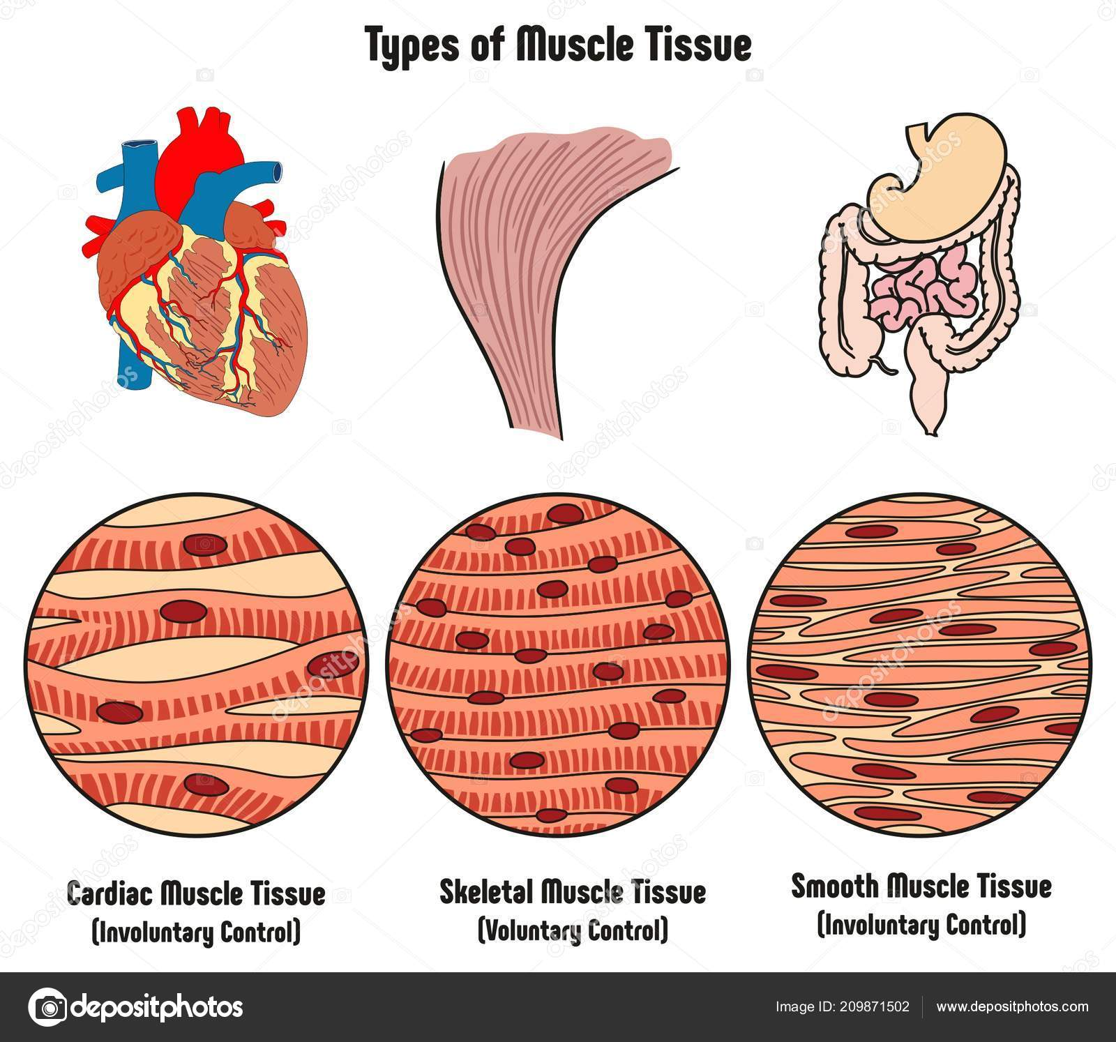 Different Kinds Of Tissues In The Human Body Types Of