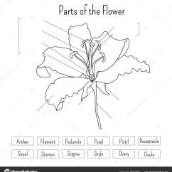 Parts Of A Flower Diagram Abb Acs 600 Wiring Worksheet Black White Lily Anatomy Science Kids Stock Vector
