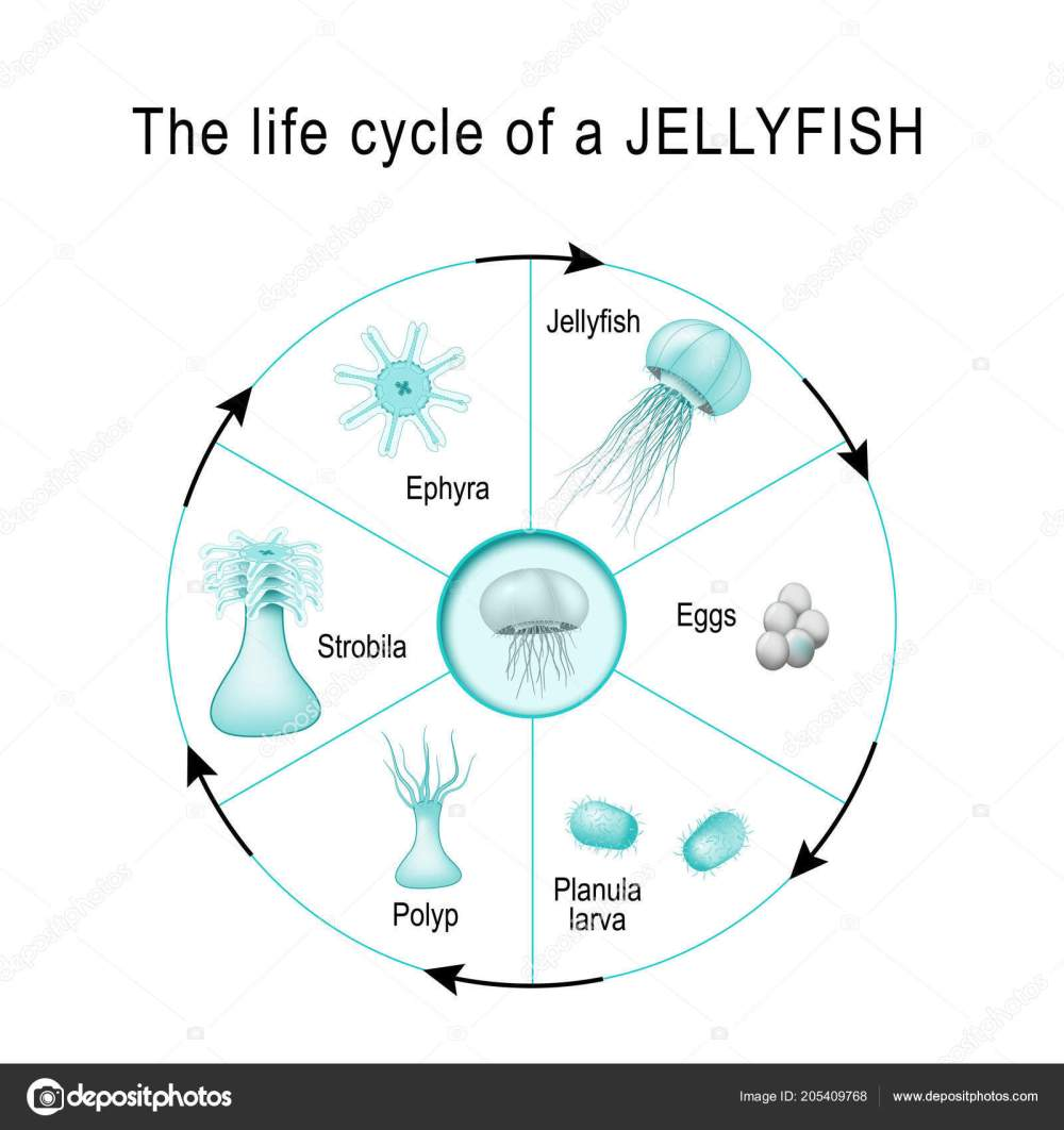 medium resolution of life cycle of a jellyfish the developmental stages of medusozoa egg jellyfish ephyra strobila polyp planula larva cnidaria vector diagram for