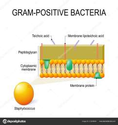 cell wall structure gram positive bacteria example staphylococcus vector diagram stock vector [ 1600 x 1700 Pixel ]