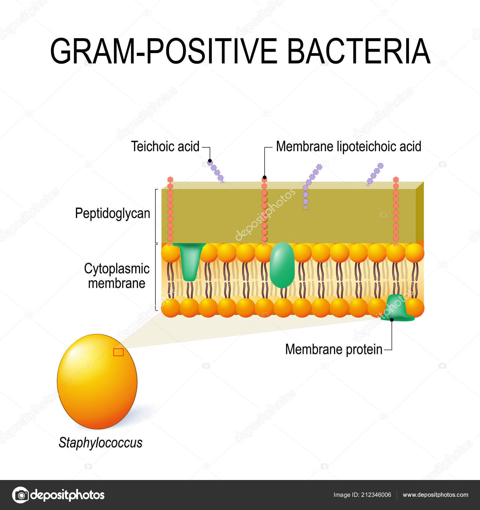 hight resolution of cell wall structure gram positive bacteria example staphylococcus vector diagram stock vector