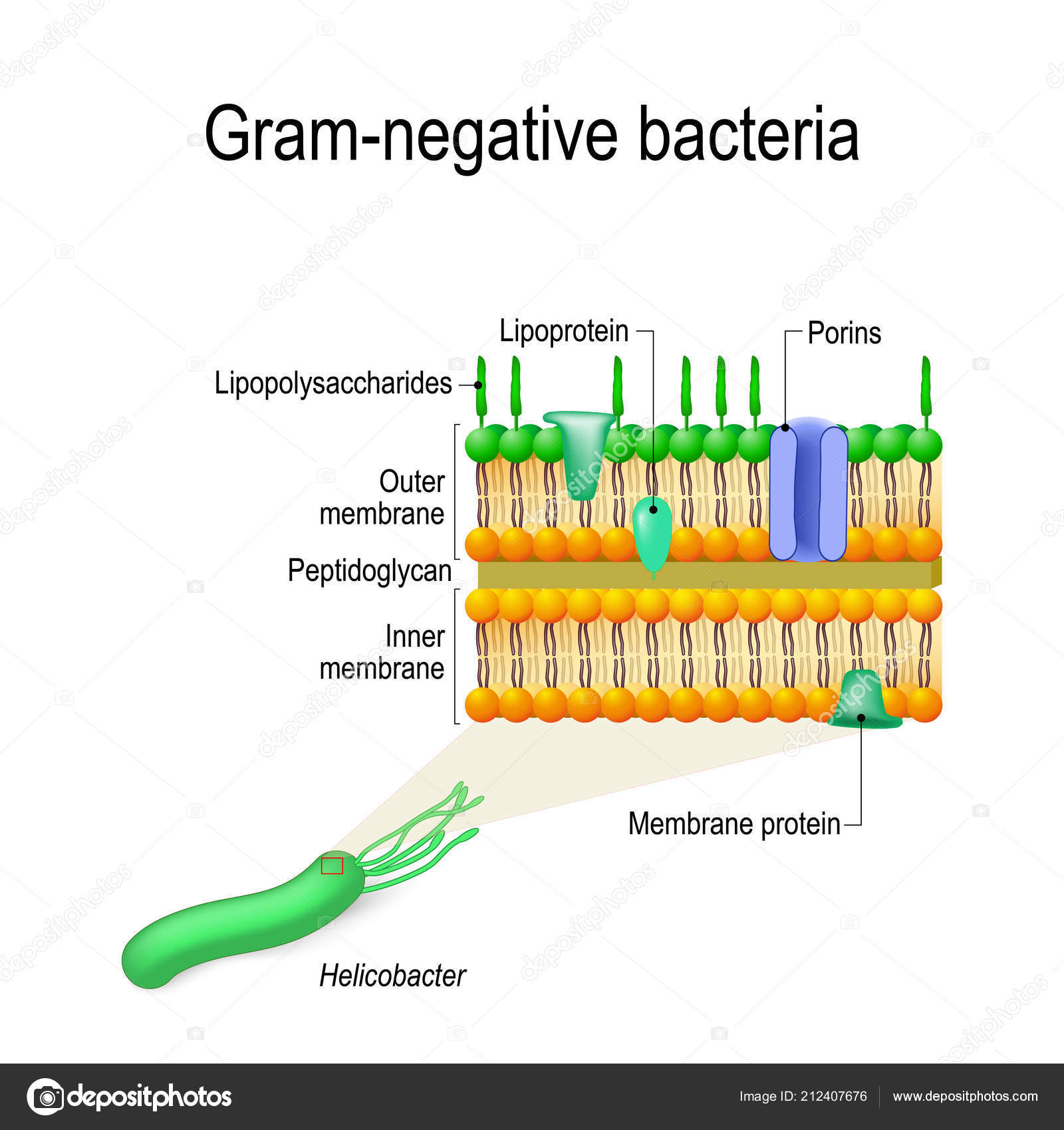 bacteria structure diagram white rodgers type 91 relay wiring cell wall gram negative example helicobacter vector stock