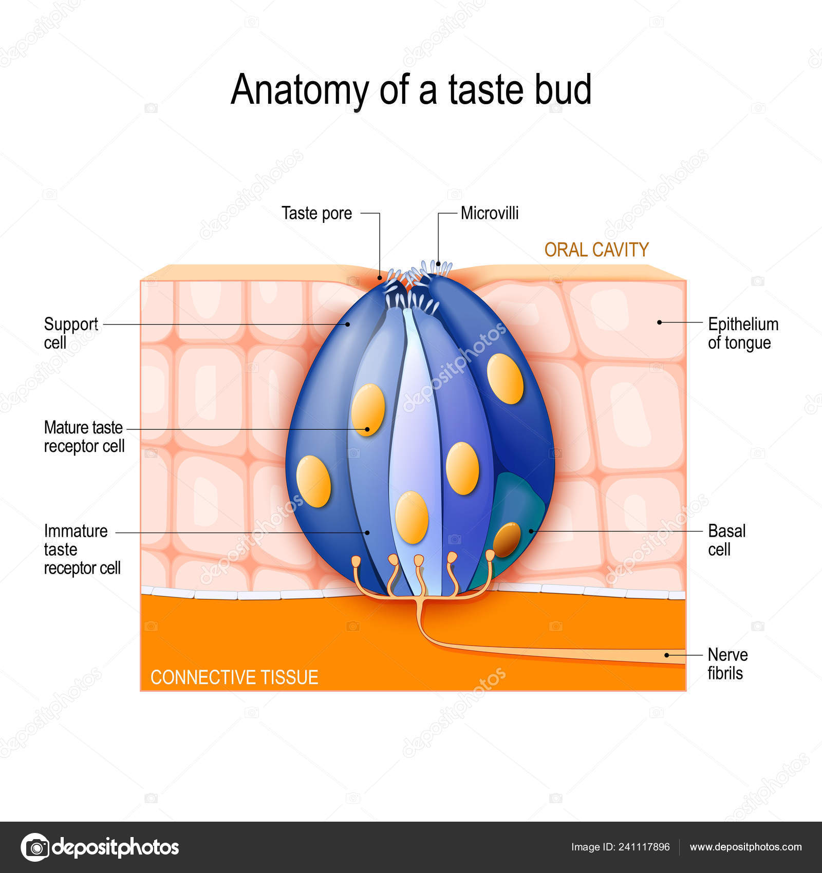 hight resolution of taste bud mature and immature taste receptor support and basal cells epithelium of tongue human anatomy vector diagram for educational biological
