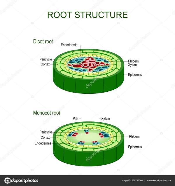 Monocot Stem Under Microscope Root Structure