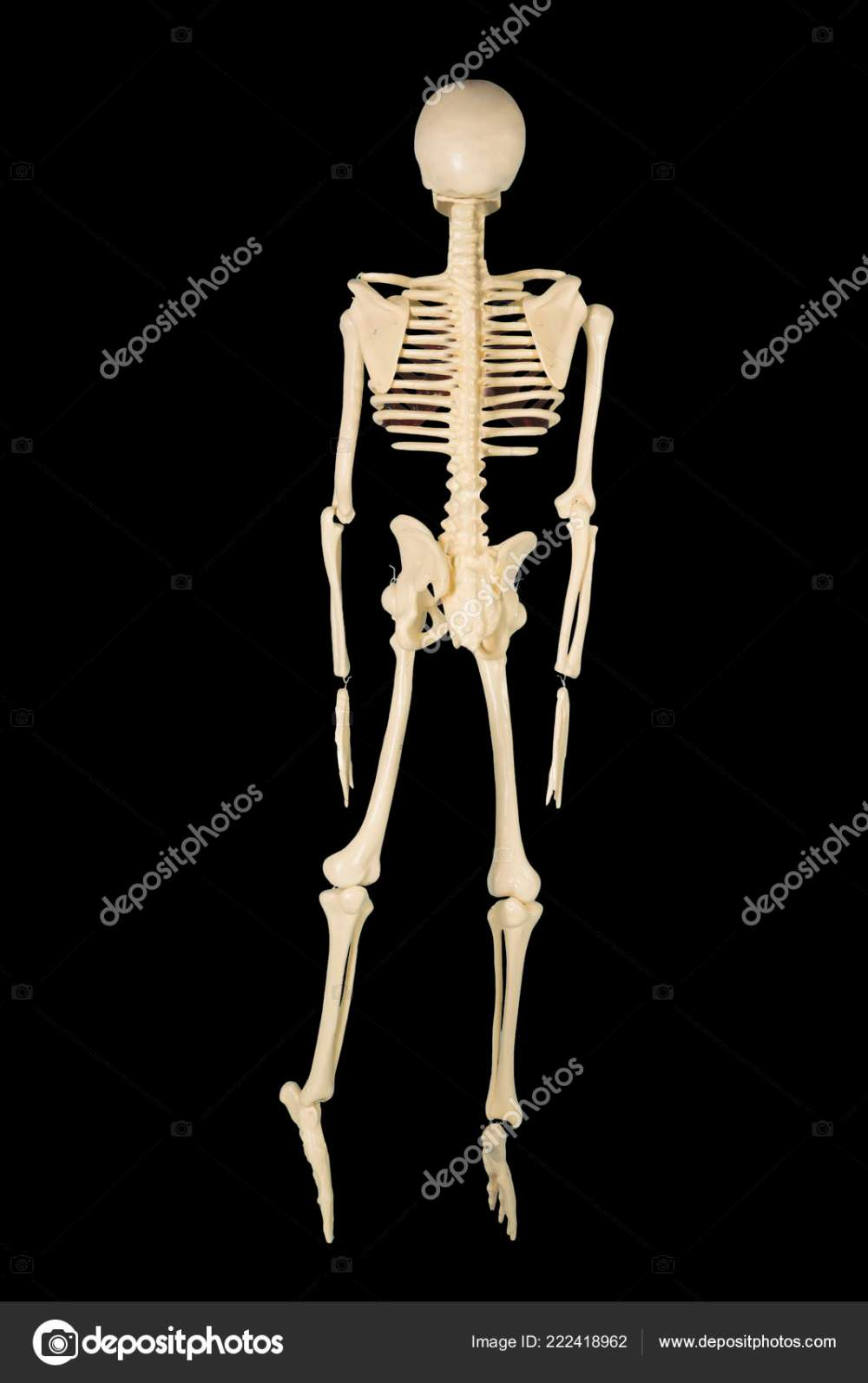 medium resolution of back view human bone structure studio dark background stock photo