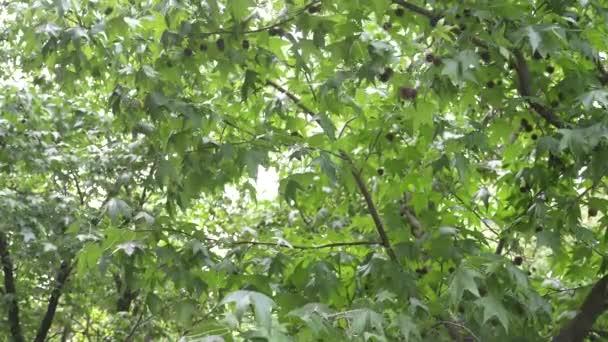 Sycamore Tree Balls
