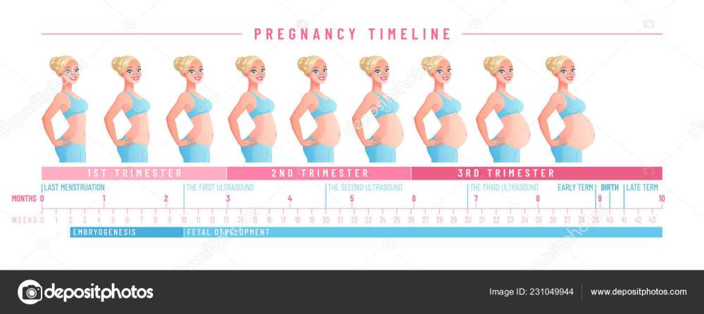medium resolution of pregnancy timeline by weeks isolated vector illustration stock vector