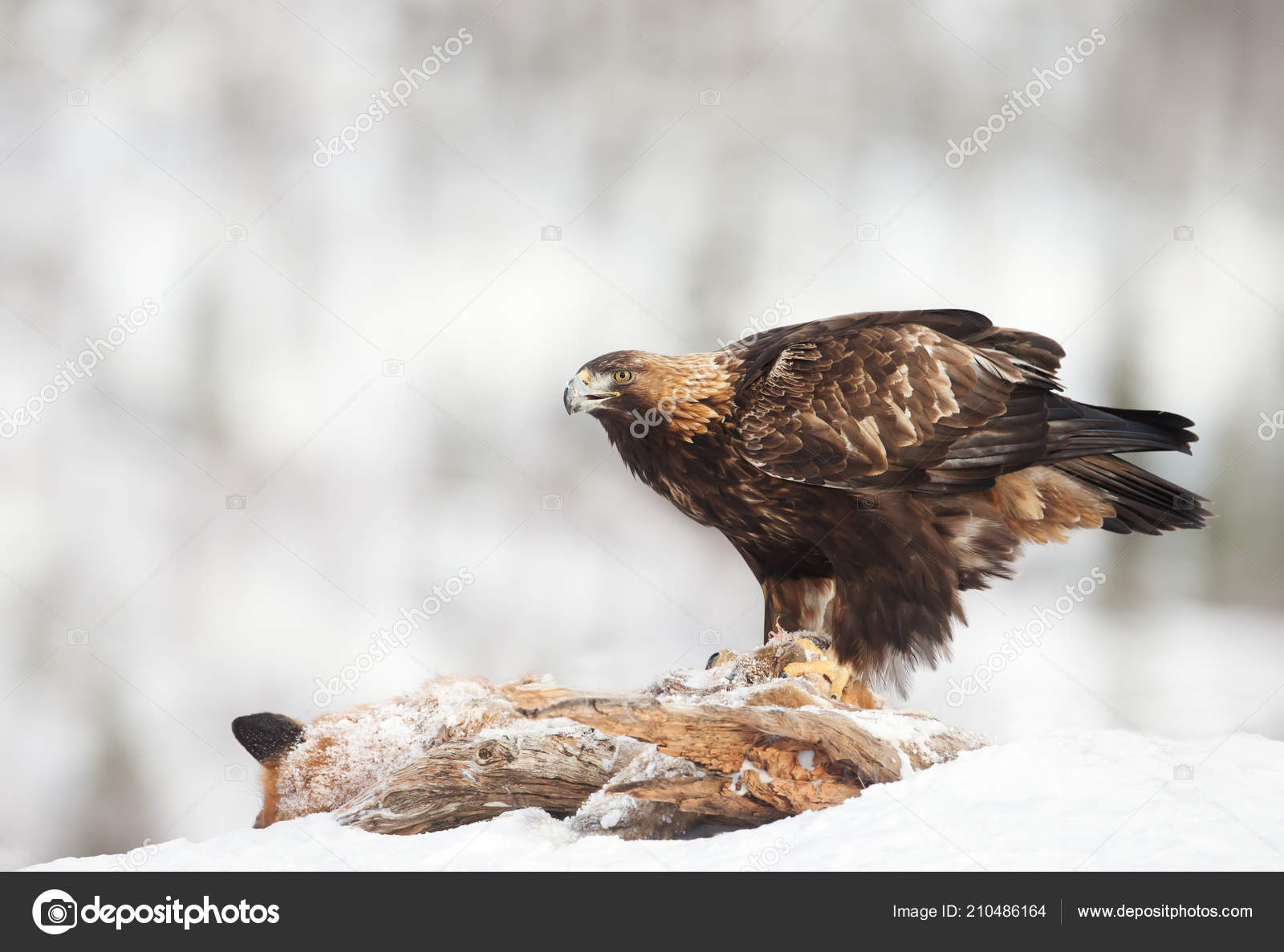 Áˆ Eagle Stock Pictures Royalty Free Golden Eagle Pics Download On Depositphotos