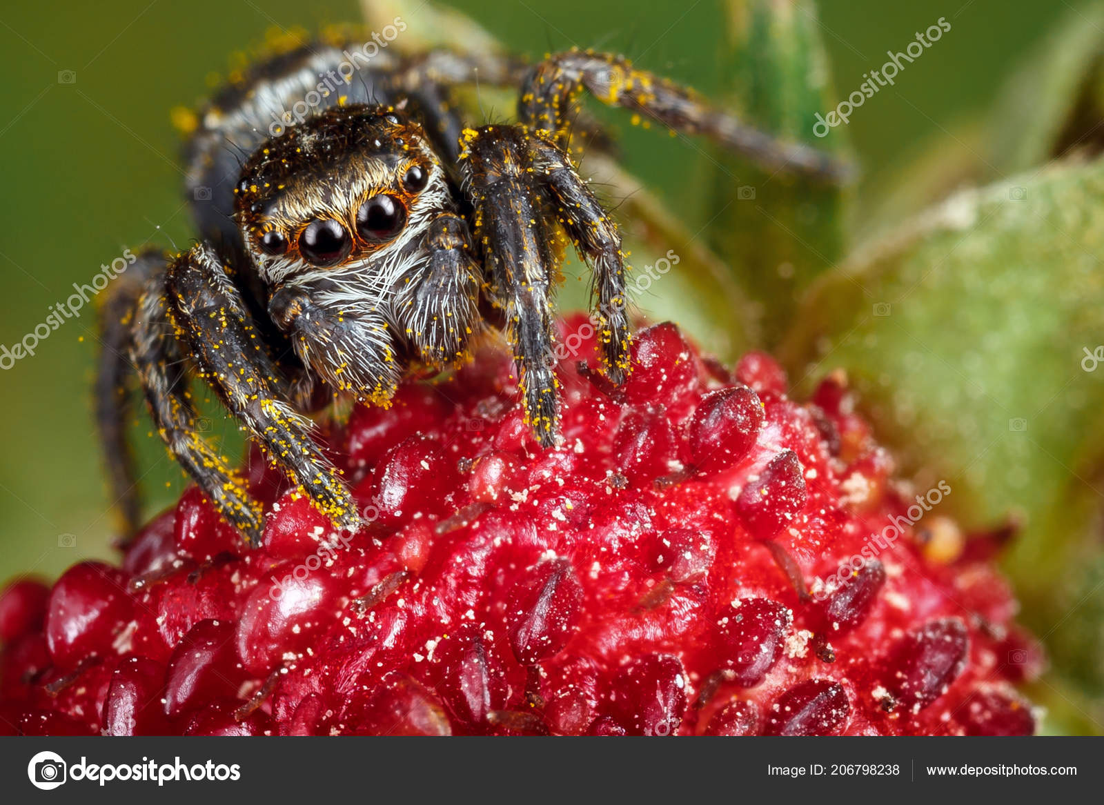 Jumping Spider Ruby Red Garden Strawberry Yellow Seeds Background Stock Photo C Lincikas 206798238
