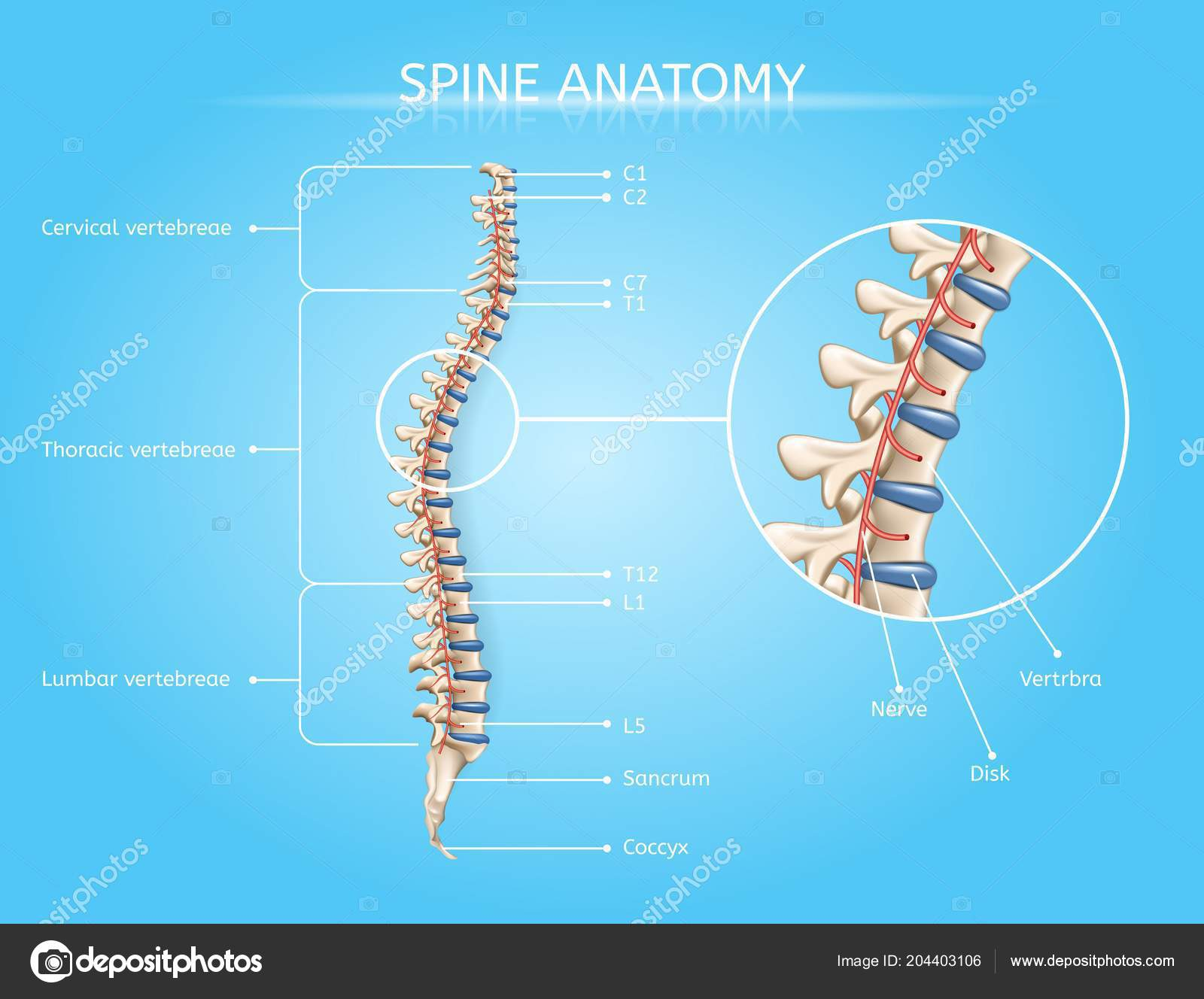 hight resolution of spine anatomy vector medical scheme with vertebral column regions lateral view realistic illustration human body internal structures