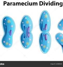 paramecium dividing bacteria diagram illustration stock vector [ 1600 x 1110 Pixel ]