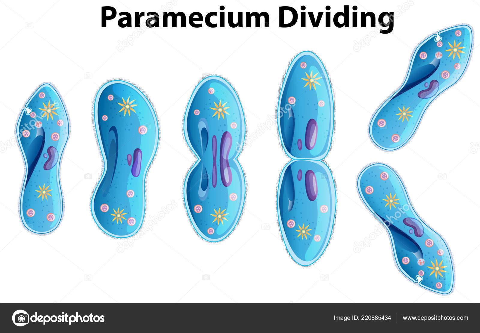 hight resolution of paramecium dividing bacteria diagram illustration stock vector