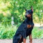 Lovely Funny Black Doberman Puppy Stock Photo C Doberrona 293672962