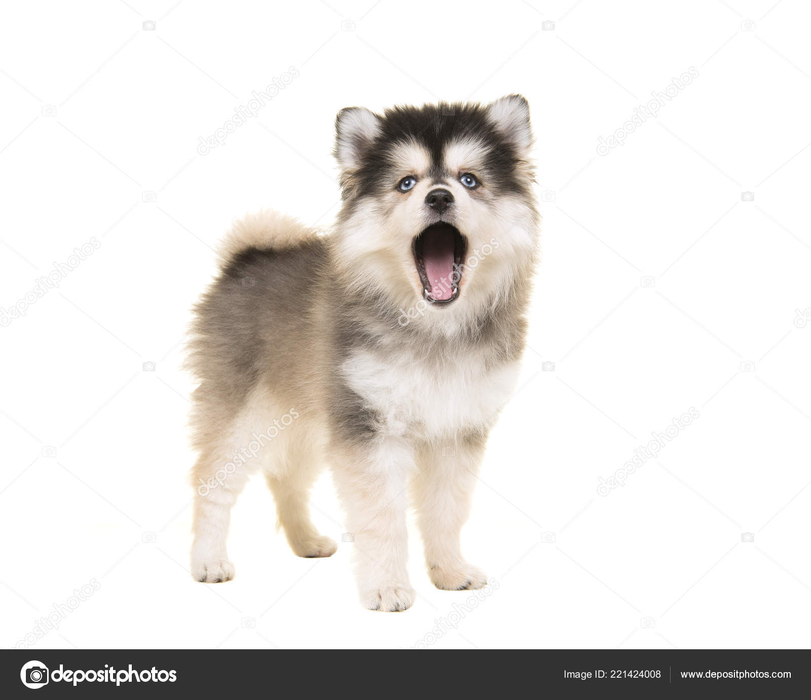 cute standing mini husky