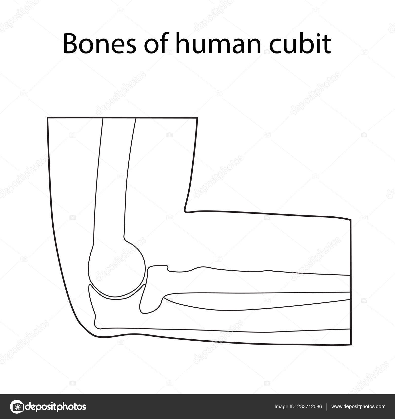 Vector Illustration Of Human Cubit Skeletal Anatomy