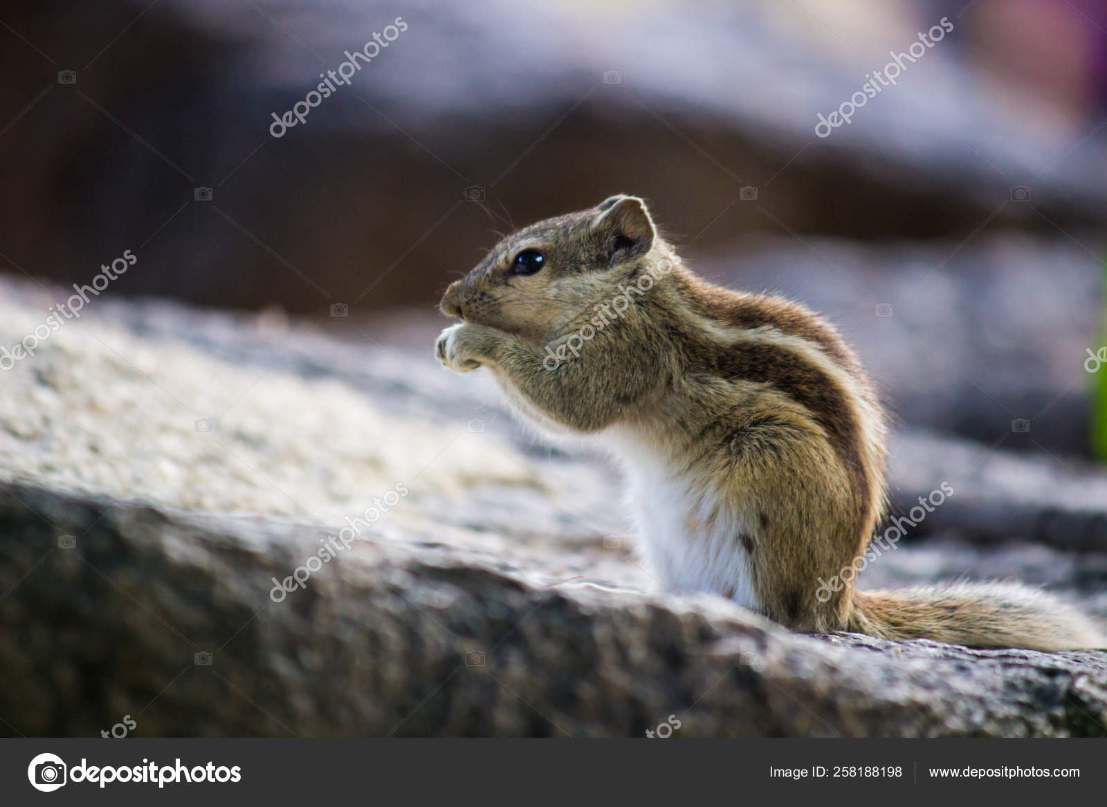 squirrels members family sciuridae
