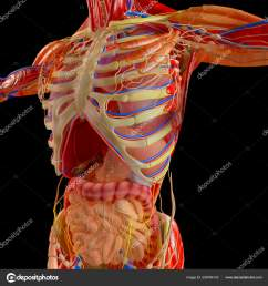 human body man digestive system anatomy intestine enlargement abdominal sector stock photo [ 1600 x 1700 Pixel ]