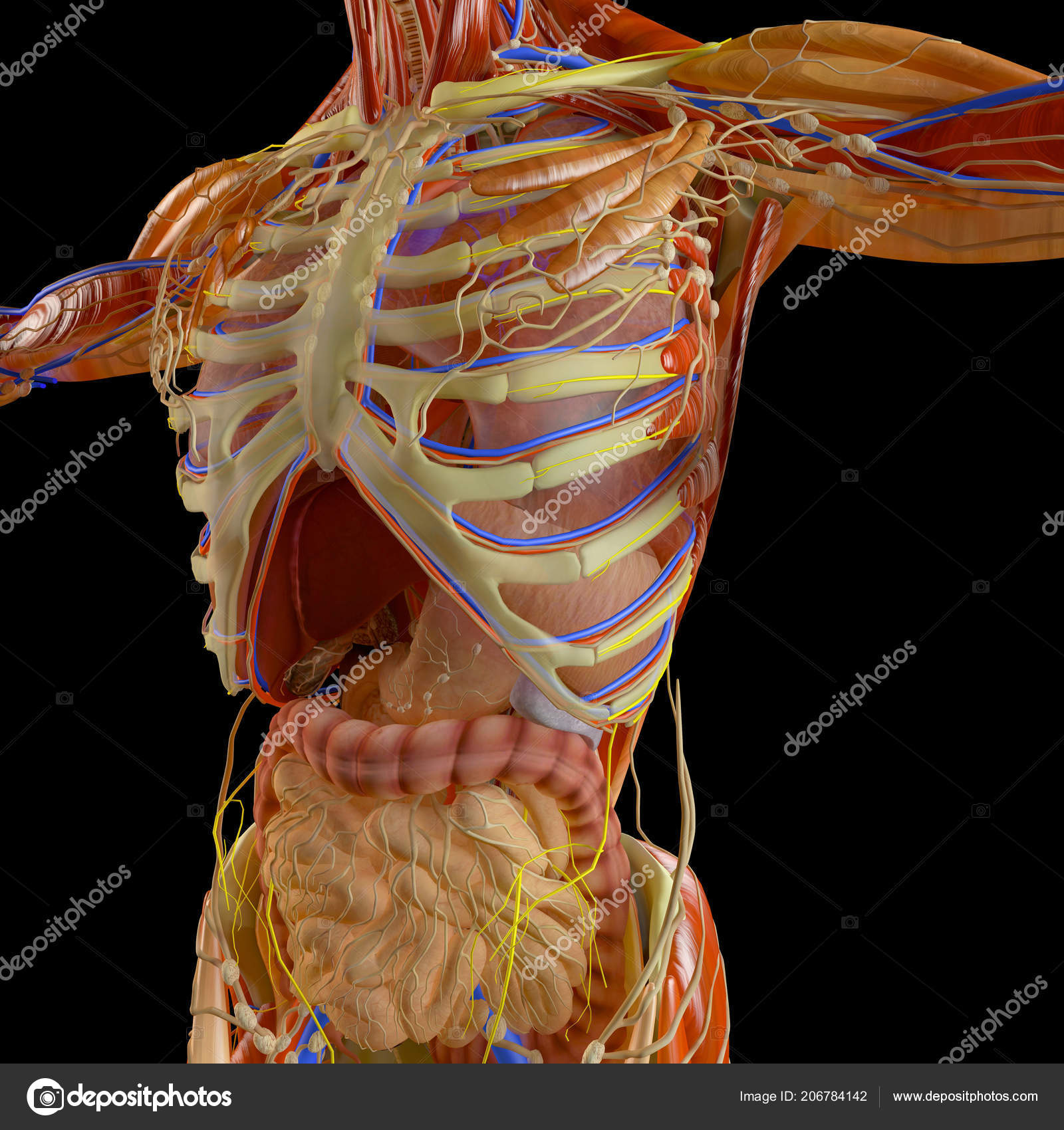 hight resolution of human body man digestive system anatomy intestine enlargement abdominal sector stock photo