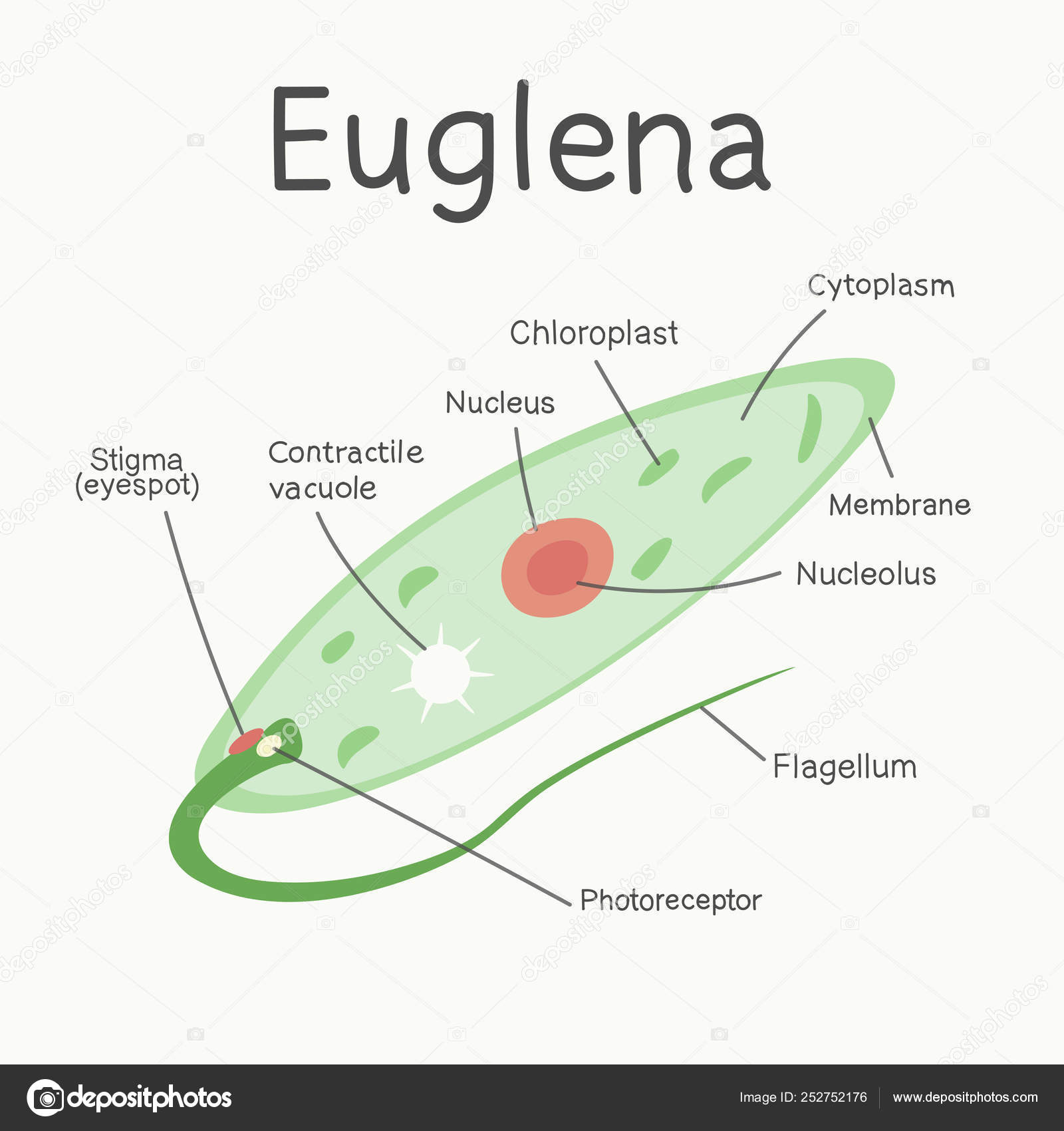 hight resolution of euglena structure microorganism vector graphics stock vector