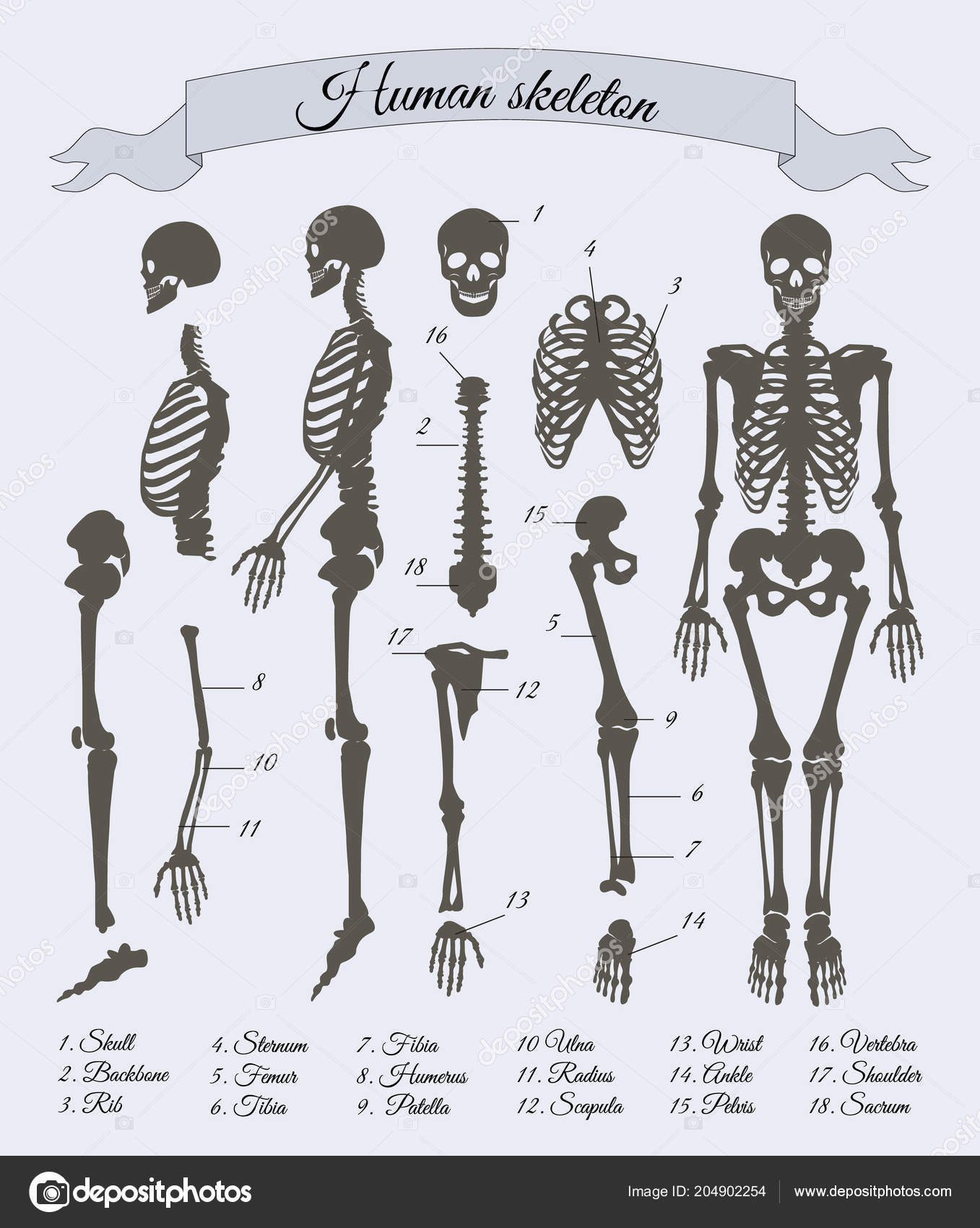 Human Skeleton Parts