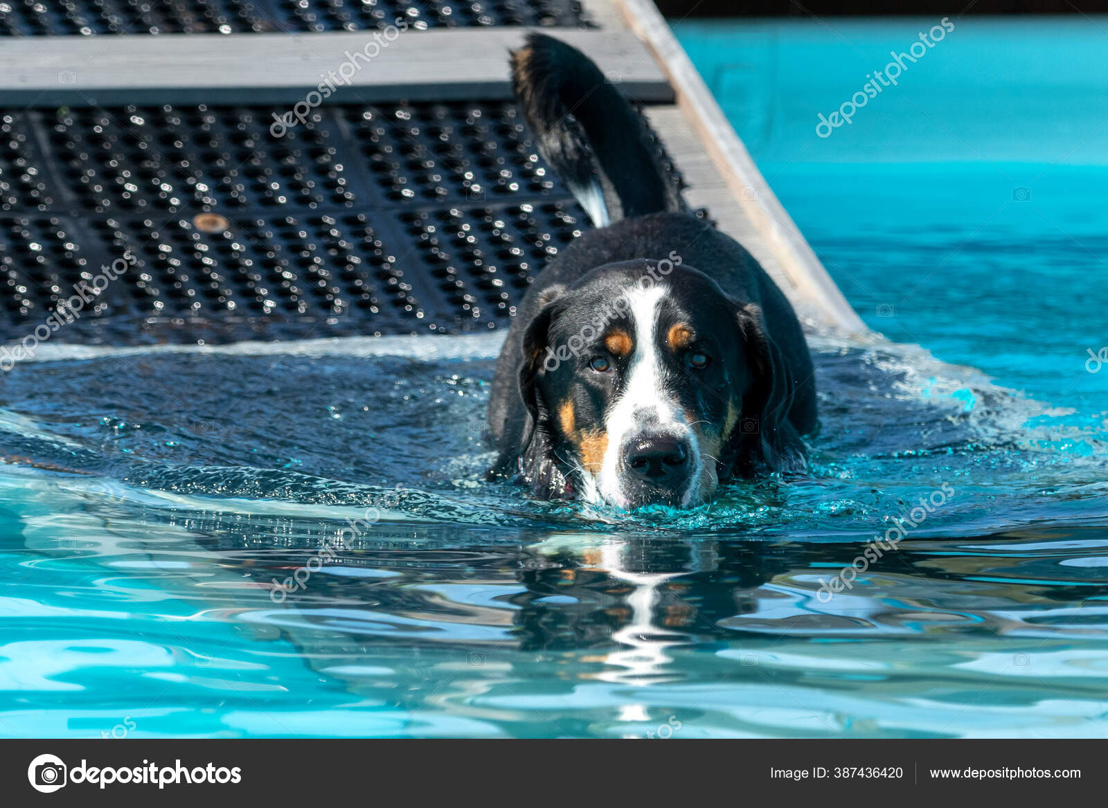 12 inches (30cm) 16 inches (40cm) the bearings and support of the pawramp lite have been tested to hold weights of up to to 70lbs (30kg) and the ramp itself weighs 8lbs. Swiss Mountain Dog Going Swimming Large Pool Walking Ramp Stock Photo By C Feeferlump 387436420