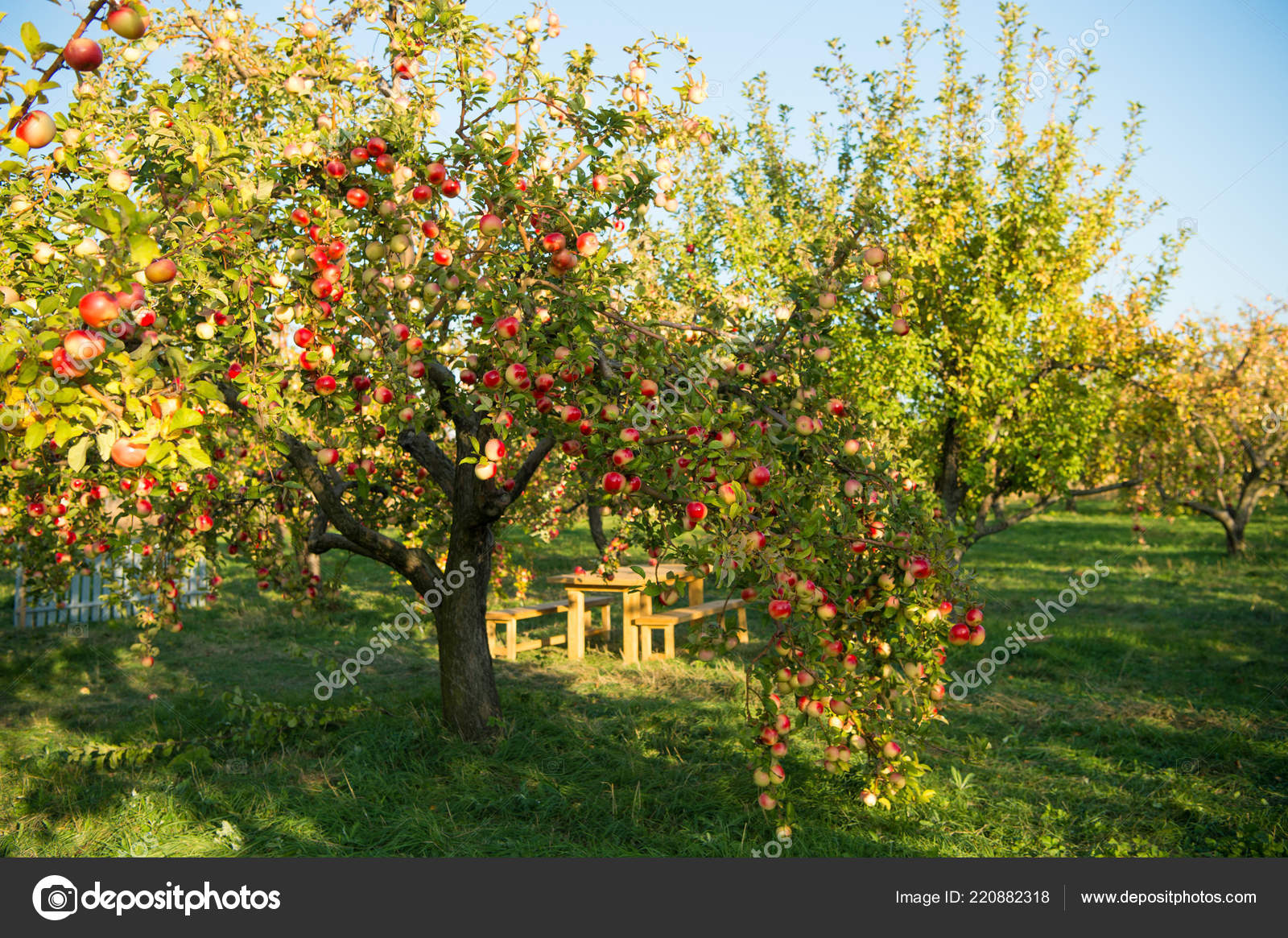 Áˆ Apple Tree Stock Pictures Royalty Free Apples On Trees Images Download On Depositphotos