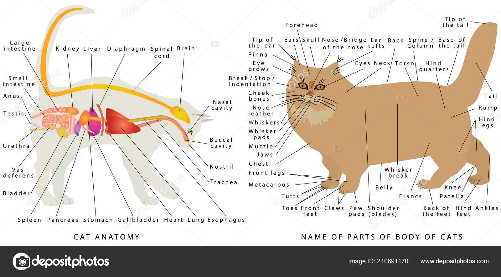 Anatomia Del Gato Anatomia Del Gato Domestico Esquema