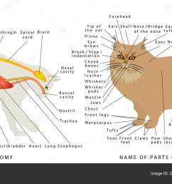 cat anatomy domestic cat anatomy cat organ anatomy diagram digestivecat anatomy domestic cat anatomy cat organ [ 1600 x 886 Pixel ]
