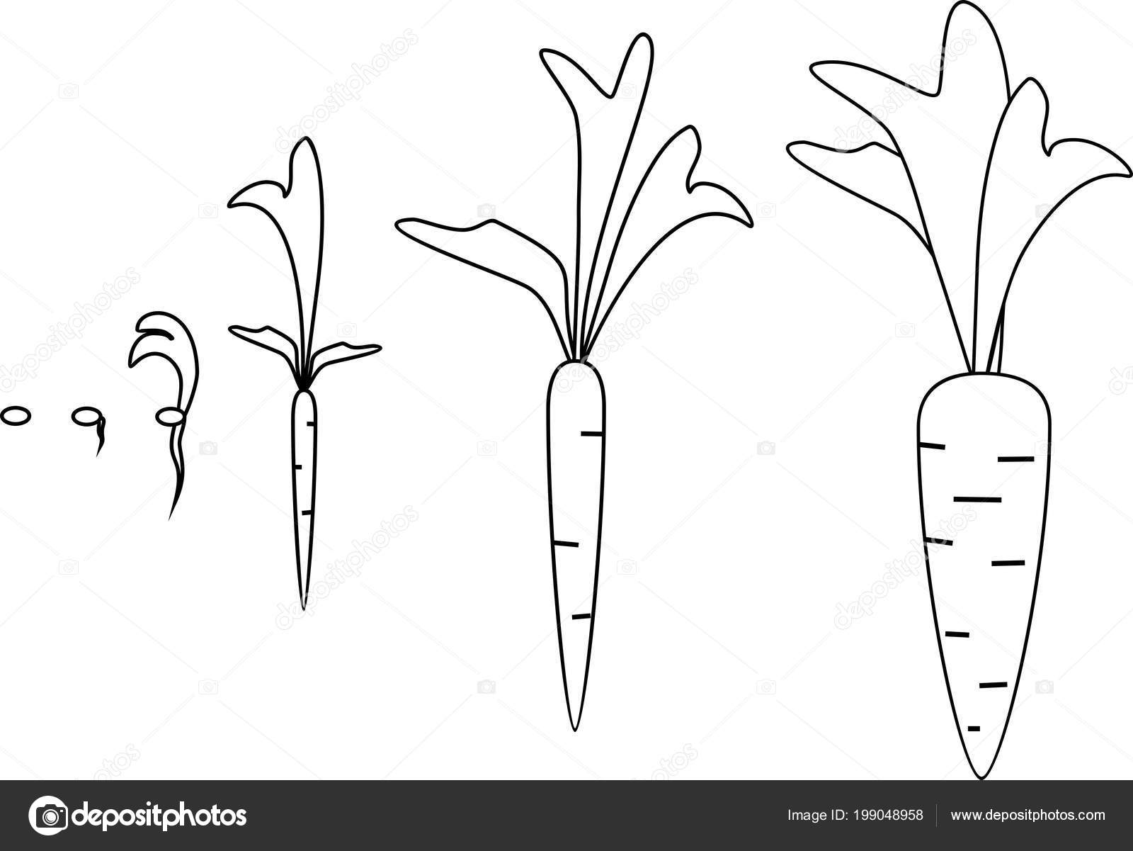 Carrot Growth Stages Coloring Pages — Stock Vector