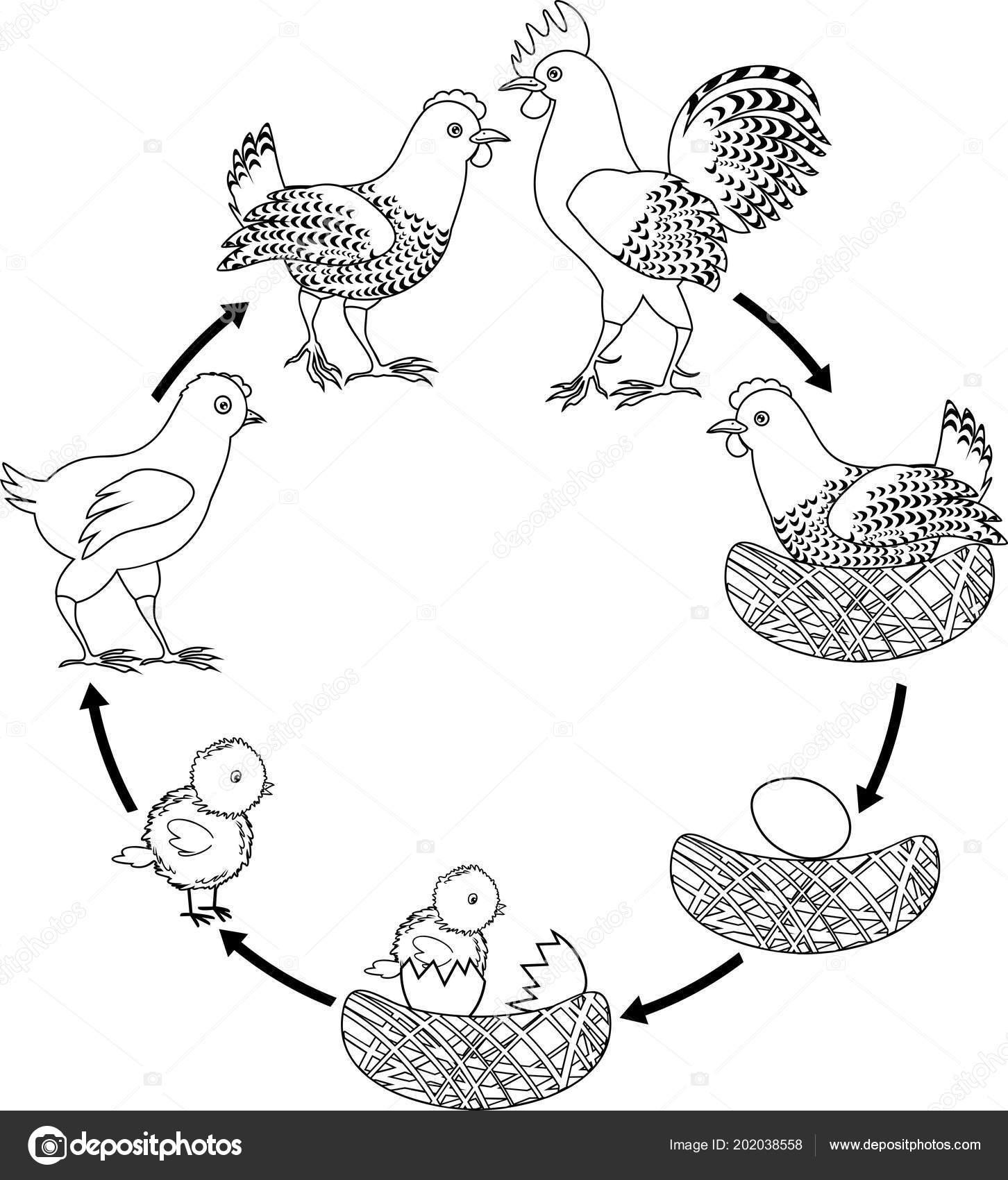 Ciclo Vida Frango Estágios Crescimento Galinha Ovo Pássaro