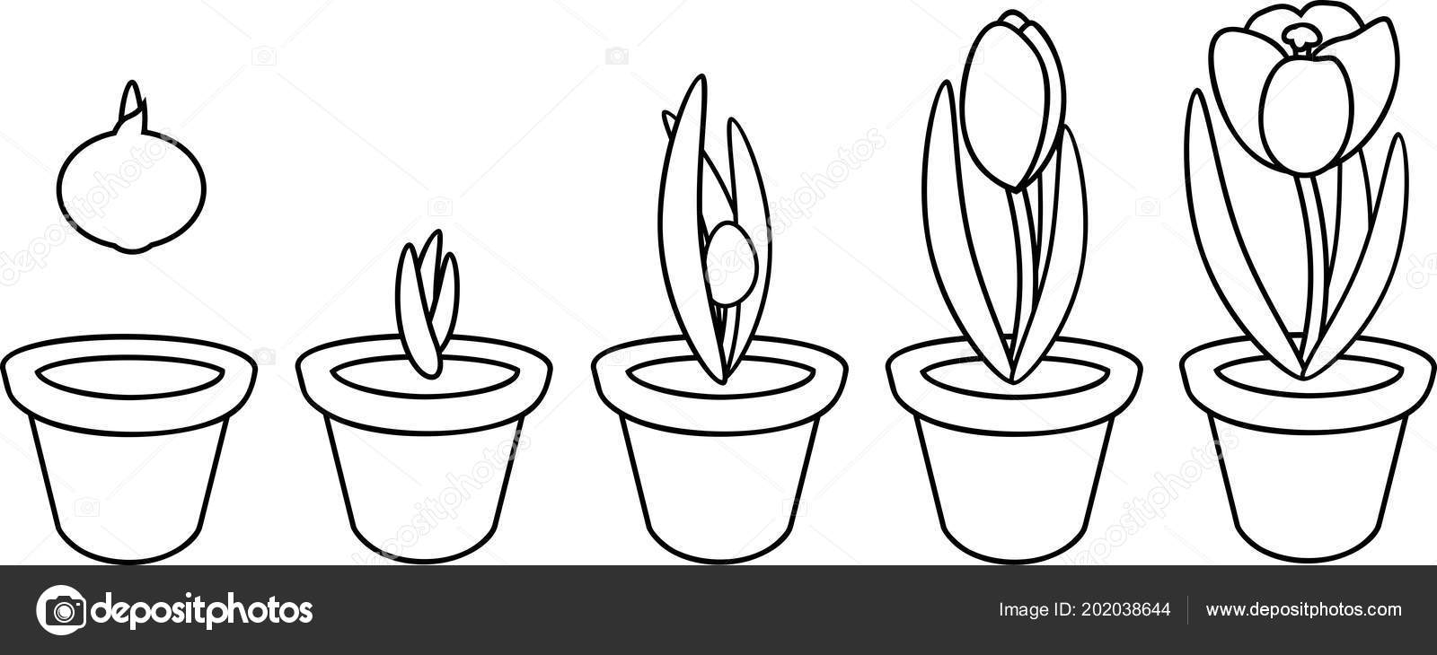 Coloring Page Crocus Life Cycle Stages Growth Planting