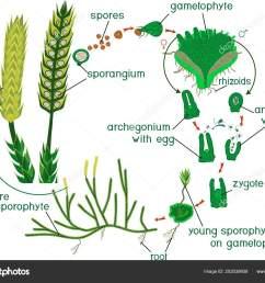 de levenscyclus van de clubmoss diagram van de levenscyclus van lycopodium clubmoss of lycopodium clavatum uitgevoerd met titels stockillustratie [ 1600 x 1236 Pixel ]