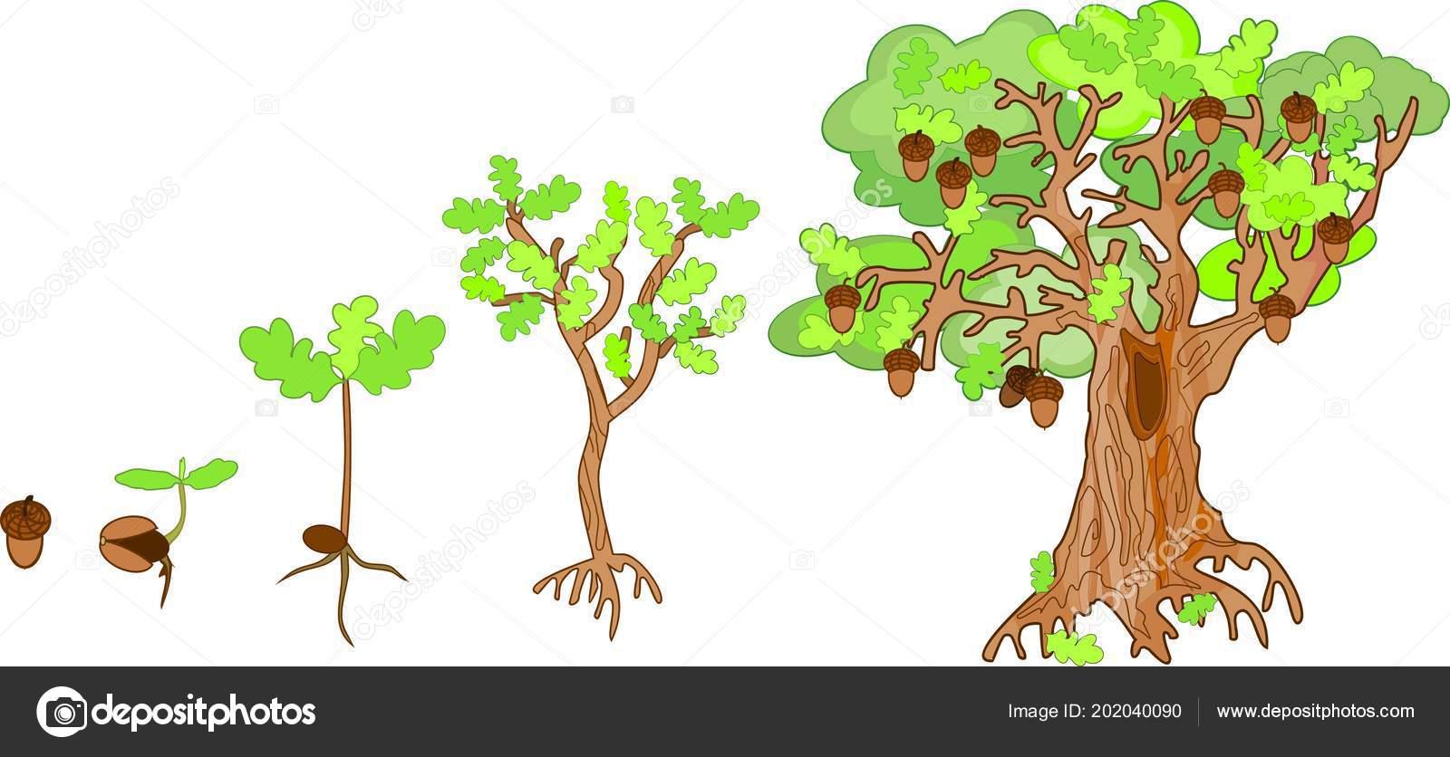 Oak Life Cycle Plant Growin Acorn Mature Oak Tree