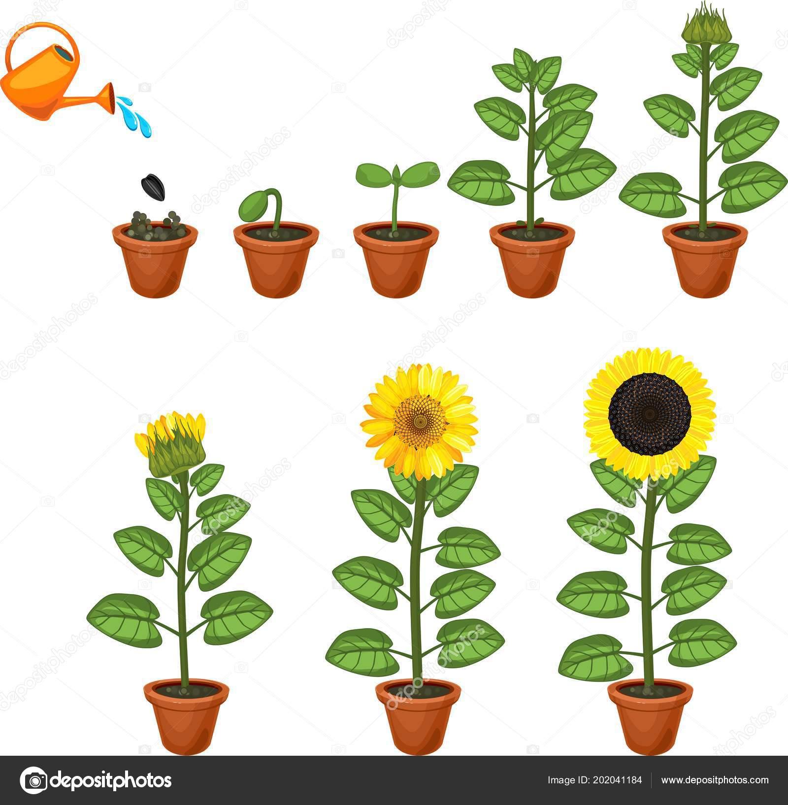 Life Cycle Sunflower Plant Pictures