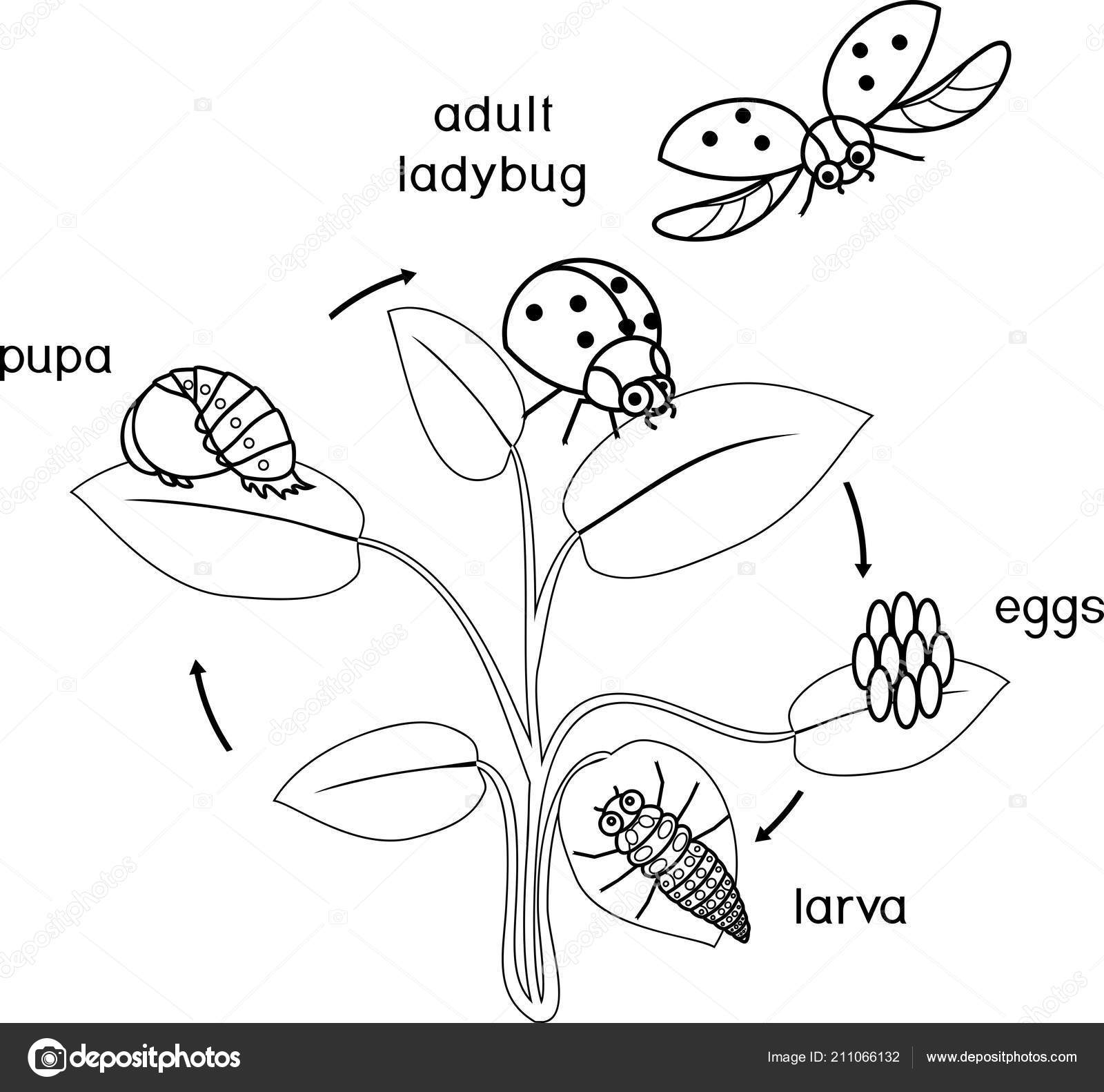 Life Cycle Ladybug Coloring Page Sequence Stages Development Ladybug Egg