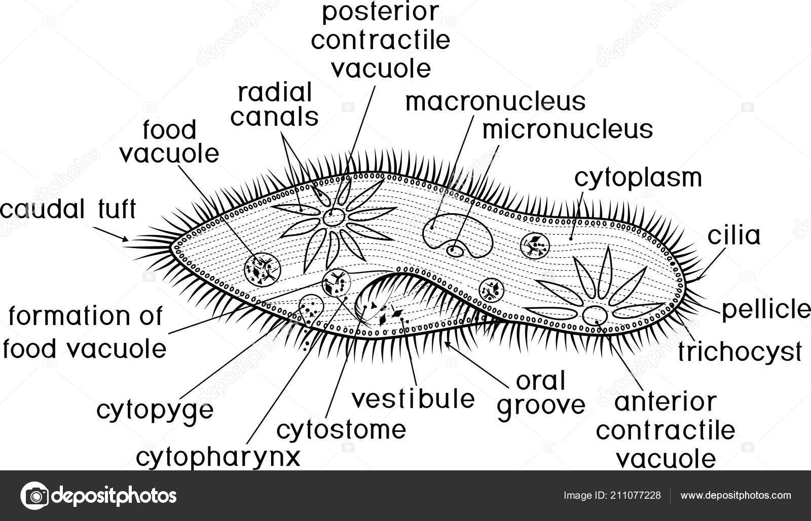 hight resolution of coloring page structure paramecium caudatum titles stock vector
