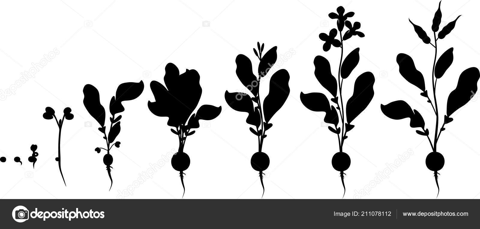 Radish Life Cycle Silhouettes Consecutive Stages Growth