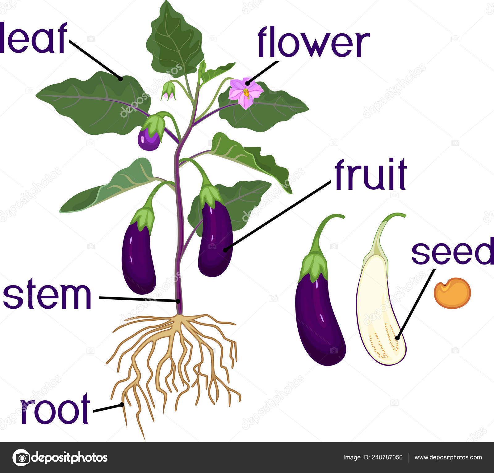 Parts Plant Morphology Eggplant Fruits Green Leaves Roots