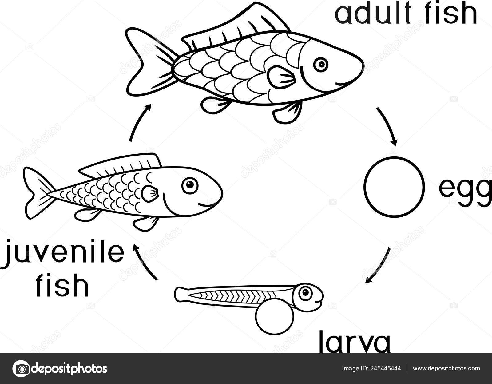Coloring Page Life Cycle Fish Sequence Stages Development