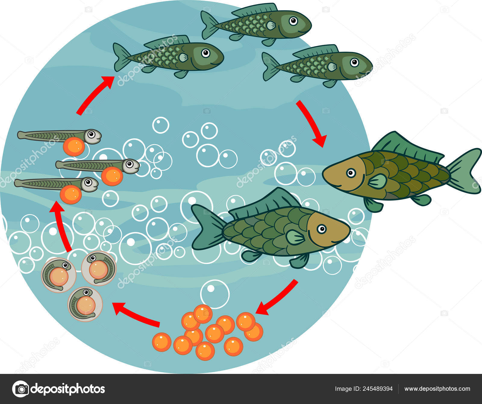 Life Cycle Fish Sequence Stages Development Fish Egg Roe