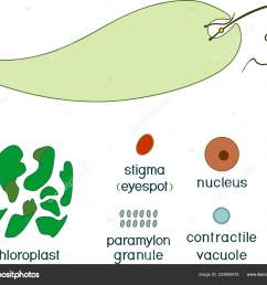 educational game assembling euglena viridis ready made components form stickers vector de stock [ 1600 x 1363 Pixel ]